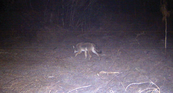 Coyotes becoming a problem