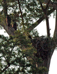 Eaglets add to farm's serenity