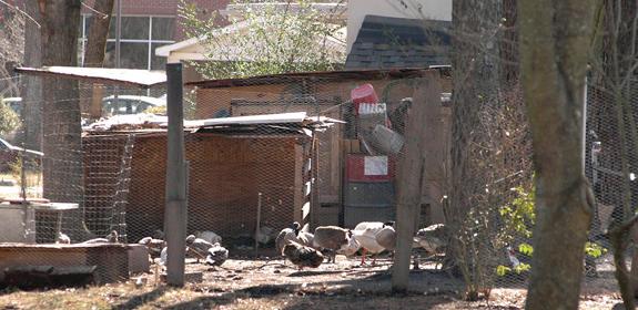 Squawking over town barnyard